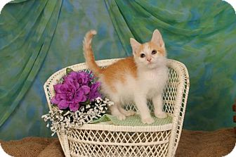 Domestic Shorthair Kitten for adoption in mishawaka, Indiana - Rachel
