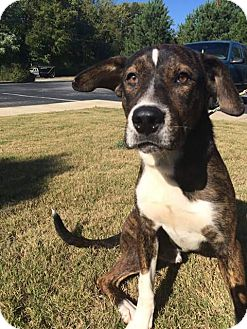Boxer Mix Dog for adoption in Mantua, New Jersey - Denali