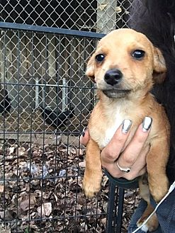 Dachshund/Terrier (Unknown Type, Small) Mix Puppy for adoption in Lodi, California - Arthur