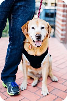 Labrador Retriever Dog for adoption in Los Angeles, California - Lady Larry