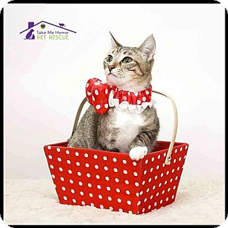 Domestic Shorthair Cat for adoption in Richardson, Texas - Libby