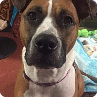 Pit Bull Terrier/Boxer Mix Dog for adoption in Frankfort, Illinois - Bailey