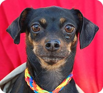 Miniature Pinscher/Chihuahua Mix Dog for adoption in Las Vegas, Nevada - Francine