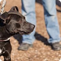 Adopt A Pet :: Gemma - Dearborn, MI