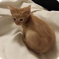 Adopt A Pet :: Poppy - Garland, TX