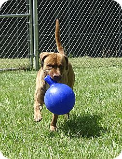 Boxer/Pit Bull Terrier Mix Dog for adoption in Brooksville, Florida - JULIO