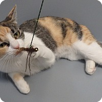 Domestic Shorthair Cat for adoption in Seguin, Texas - Ginger
