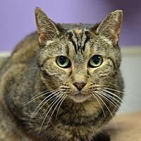 Domestic Shorthair Cat for adoption in Atlanta, Georgia - Sally Sue 150211