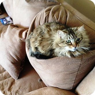 Domestic Longhair Cat for adoption in Monroe, New Jersey - Annie