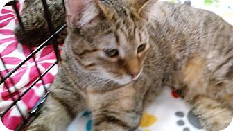 Domestic Shorthair Kitten for adoption in Columbus, Ohio - Goldie