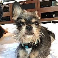 Adopt A Pet :: Gandalf - Chicago, IL
