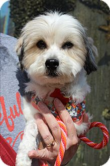 Havanese/Shih Tzu Mix Dog for adoption in Los Angeles, California - Cherry Darling - Three Legs