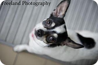 Chihuahua Mix Dog for adoption in Jackson, Michigan - Lola