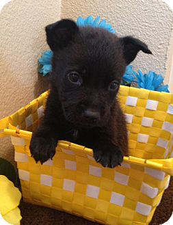 Labrador Retriever/German Shepherd Dog Mix Puppy for adoption in Inglewood, California - Mason