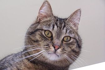 Domestic Shorthair Cat for adoption in Lambertville, New Jersey - Ziggy