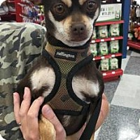Chihuahua Mix Dog for adoption in Tucson, Arizona - Browny