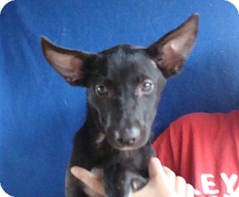 Australian Shepherd/Australian Cattle Dog Mix Puppy for adoption in Oviedo, Florida - Shelby