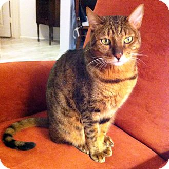 Bengal Cat for adoption in Arlington/Ft Worth, Texas - Tiger