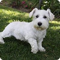 Adopt A Pet :: CANDY - Newport Beach, CA