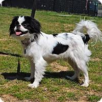Adopt A Pet :: *Mogley - PENDING - Westport, CT