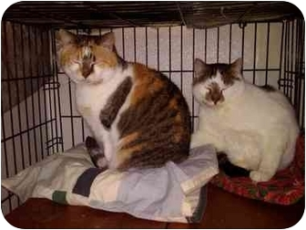 Domestic Shorthair Cat for adoption in Erie, Pennsylvania - Angelina on right