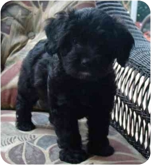Poodle (Miniature)/Labradoodle Mix Puppy for adoption in Tallahassee, Florida - Jabulie