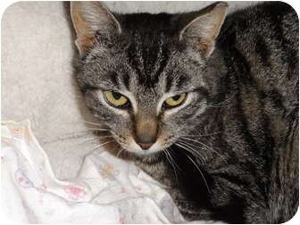 Domestic Shorthair Cat for adoption in Barnegat, New Jersey - Little Simba