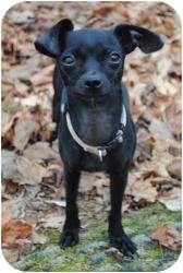 Chihuahua Dog for adoption in Staunton, Virginia - Zoey and Sugar Baby