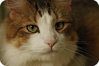 American Shorthair Cat for adoption in Lombard, Illinois - Feenix