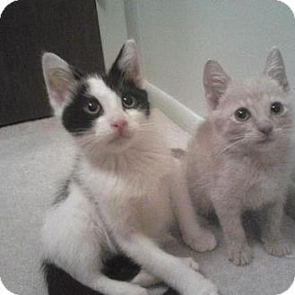 Domestic Shorthair Kitten for adoption in Pittstown, New Jersey - Jeter