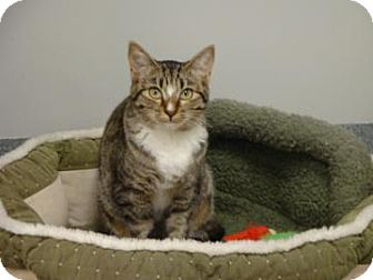 Domestic Shorthair Cat for adoption in Gainesville, Florida - Lauri