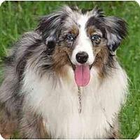 Adopt A Pet :: LOST AUSSIE Palm Beach Gardens - Orlando, FL
