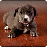 Adopt A Pet :: Ginger - Owensboro, KY