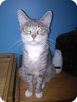 Domestic Shorthair Cat for adoption in Warren, Michigan - Dori