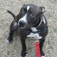 Pit Bull Terrier Mix Dog for adoption in Wilmington, North Carolina - NOVA