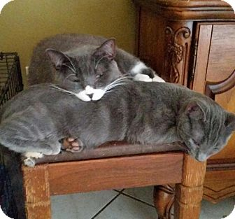 Domestic Shorthair Cat for adoption in Orlando-Kissimmee, Florida - Kermie