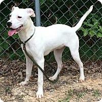 Adopt A Pet :: Angel - Brattleboro, VT