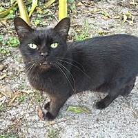 Domestic Shorthair Cat for adoption in Naples, Florida - Sensei