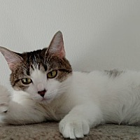Domestic Shorthair Cat for adoption in Hanna City, Illinois - Tatyana