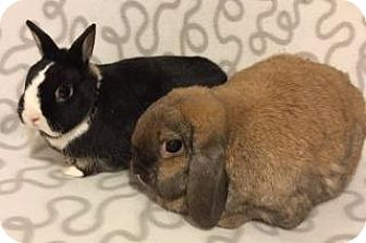 Lop-Eared Mix for adoption in Woburn, Massachusetts - Cosmo