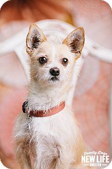 Norwich Terrier/Cairn Terrier Mix Dog for adoption in Portland, Oregon - Zeke