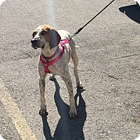 Pointer/Hound (Unknown Type) Mix Dog for adoption in Hohenwald, Tennessee - Lily Loo