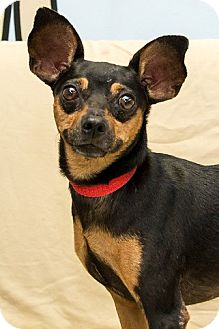 Miniature Pinscher Mix Dog for adoption in Miami, Florida - Louie
