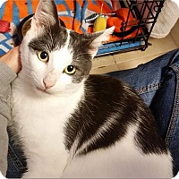 Domestic Shorthair Cat for adoption in Freeport, New York - Sam