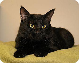 Domestic Shorthair Cat for adoption in Milford, Massachusetts - Rumplestiltskin