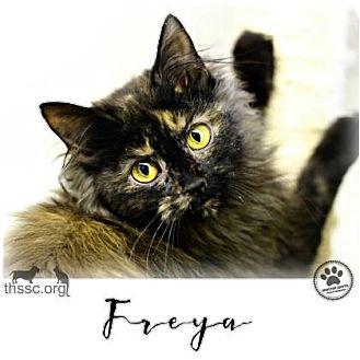 Domestic Longhair Cat for adoption in Sullivan, Indiana - Freya