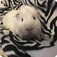 Guinea Pig for adoption in Princeton, Minnesota - Hamish
