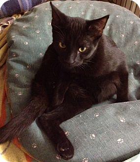 Domestic Shorthair Kitten for adoption in Byron Center, Michigan - Malik