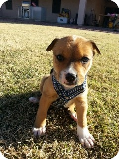 American Pit Bull Terrier/Boxer Mix Puppy for adoption in Litchfield Park, Arizona - Falloe - Only $95 adoption!