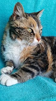Domestic Shorthair Cat for adoption in Hornell, New York - Cali